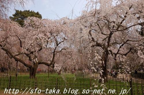 110403近衛邸跡糸桜3.jpg