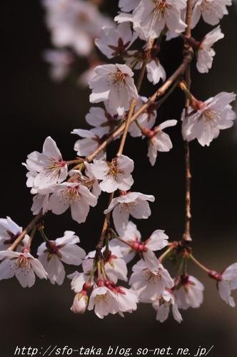 110403近衛邸跡糸桜4.jpg