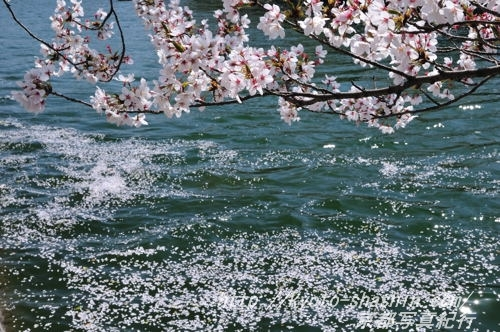 11041302岡崎疏水散り花2 .jpg