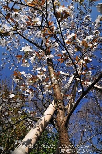 11041307宗像神社左近の桜.jpg